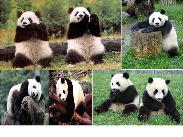 Gambar 19. Panda