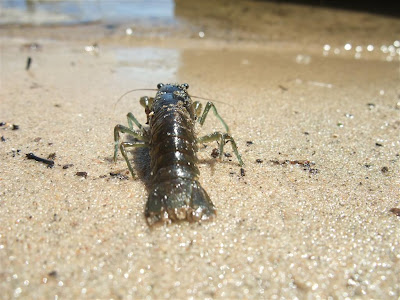crayfish, crawfish, walking on the beach, back to the water