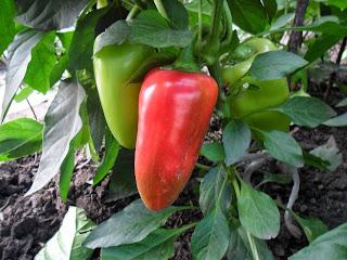 Семенной плод сладкого перца