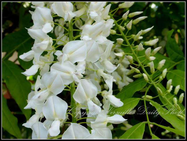 White wisteria glycine Versailles Porchefontaine