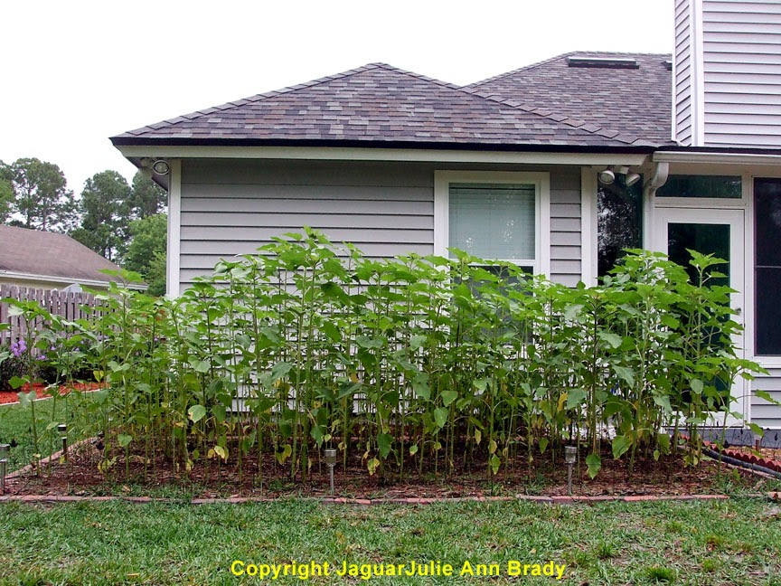 My Second DIY Garden of Sunflowers at 62 Days ~ JaguarJulie