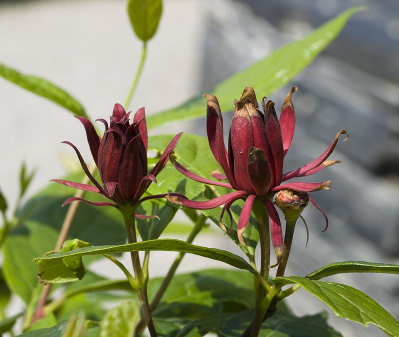 Flora ornamental hort cola y medicinal calycanthus for Jardin botanico medicinal