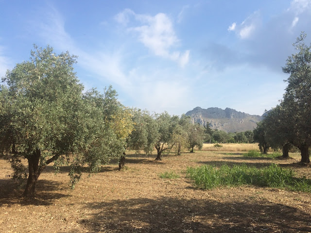 Olive trees in Kolimbia, Rhodes, Greece