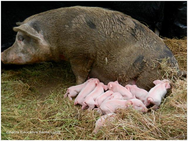 Cerditos recién nacidos - Chacra Educativa Santa Lucía