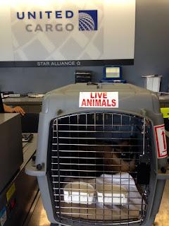 O gato Bogie é enviado de volta para sua família 19 meses após escapar em um voo da United Airlines (Foto: Jennifer Kishimori/CatFriends via AP)