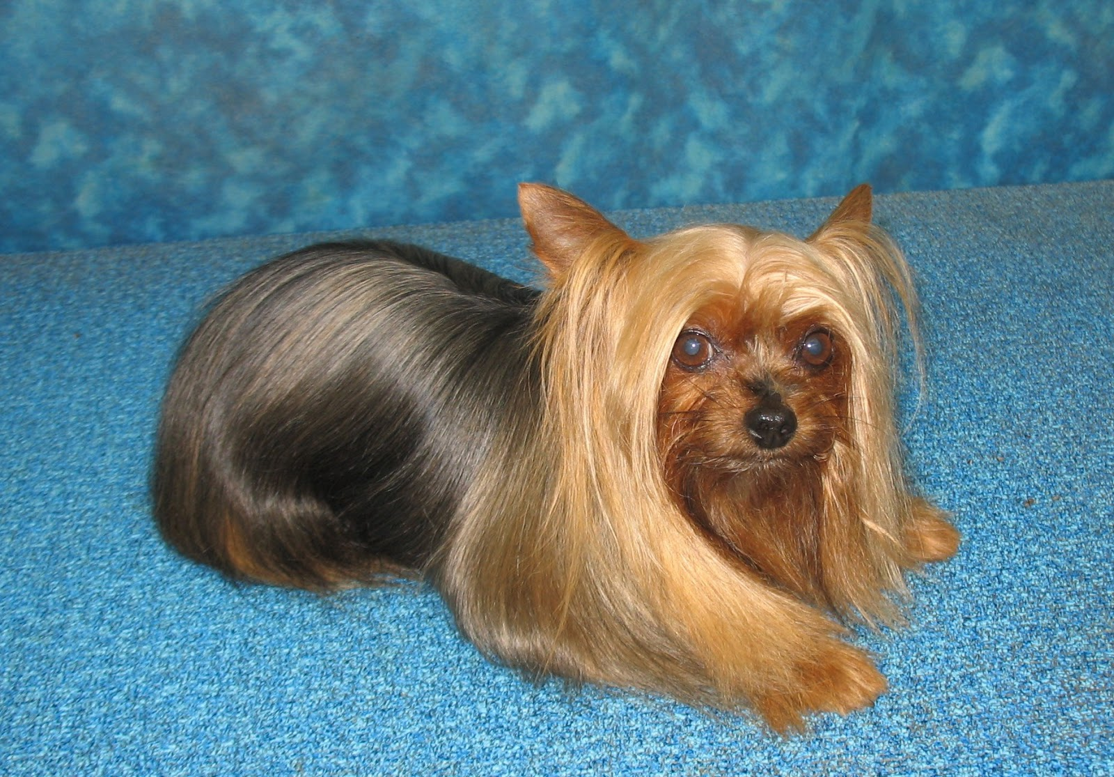 Pet Yorkie Grooming Options Bbirds Groomblog