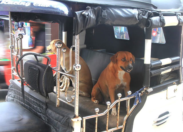 pet dogs, two, autorickshaw, tuk-tuk, pets, sri lanka