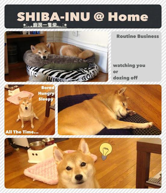 Shiba-Inu @ Home