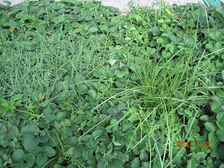 how to get rid of clover in bermudagrass