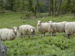 14 cara rahasia beternak domba untuk menghemat biaya dan Waktu