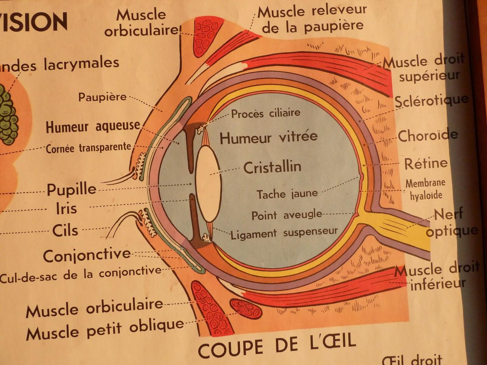 Fine Cul De Sac Eye Anatomy Ideas - Human Anatomy Images ...