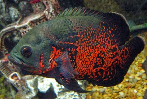 ikan hias oscar