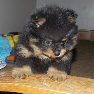 Bean New Pomsky Puppy From Apex Pomskies