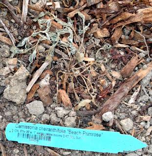 "dead Cammissonia cheiranthifolia ""Beach Primrose"""