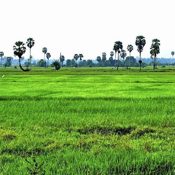 Reis Anbau Thailand