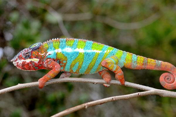 Photo of Ambilobe Panther Chameleon  Blue Bar Baby Ambilobe Panther Chameleon