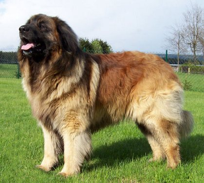 Leonberger Puppies on Dog Wallpapers Album  Leonberger Dog Breed Pictures