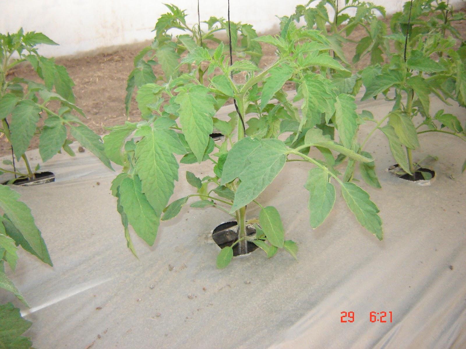 Invernaderos union fotos de planta de tomate Plantas de invernadero