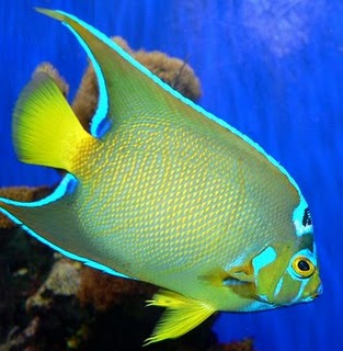ikan, fish, Butterfly fish (Chaetodon capistratus), Queen Angelfish, Yellow Tang, Tropical fish, Clown fish (nemo), mas koki, blue devil