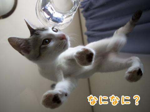 ガラステーブル越しの子猫 cat on glass table