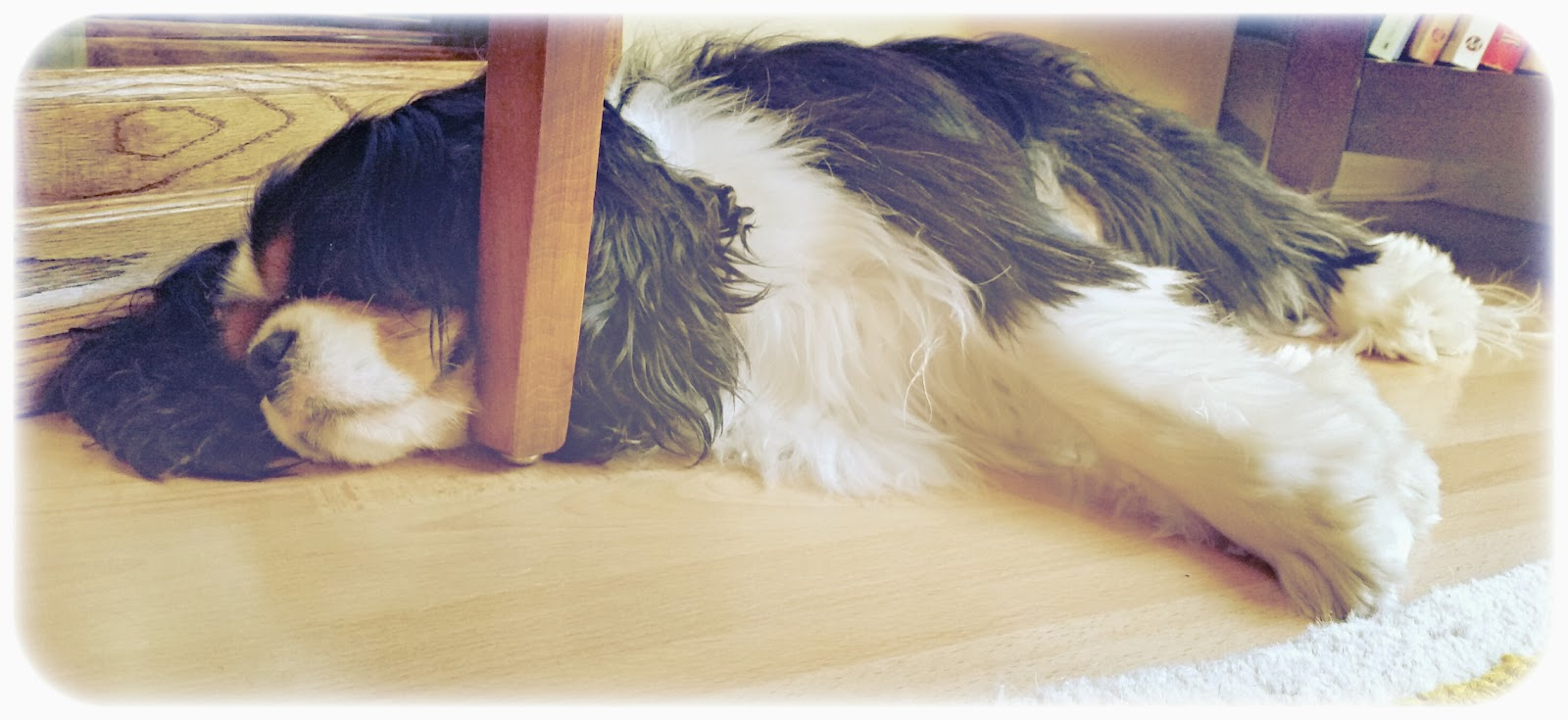 sleeping Cavalier King Charles Spaniel