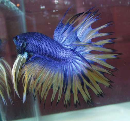 Diseases and treatment of your betta fish betta fish for Betta fish diseases