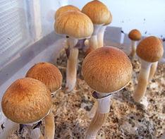experiencias com cogumelos mágicos
