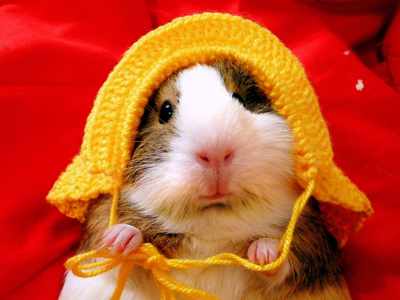 Funny hamsters pictures for desktop |Funny Animal