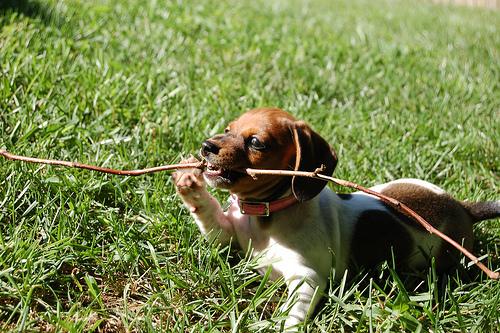 Even puppies love sticks!