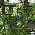 Our 2013 Grape Harvest