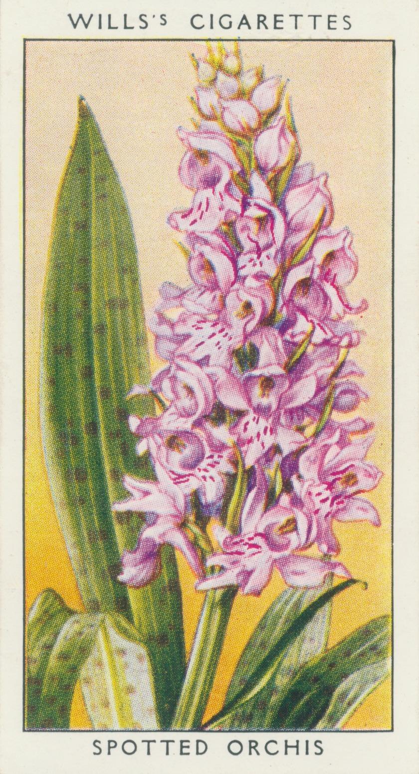 http://3.bp.blogspot.com/-AddanqTLcF8/UwiS7YIQpHI/AAAAAAAANtA/CeakAkNRVqE/s1600/spotted+orchis.cv.jpg