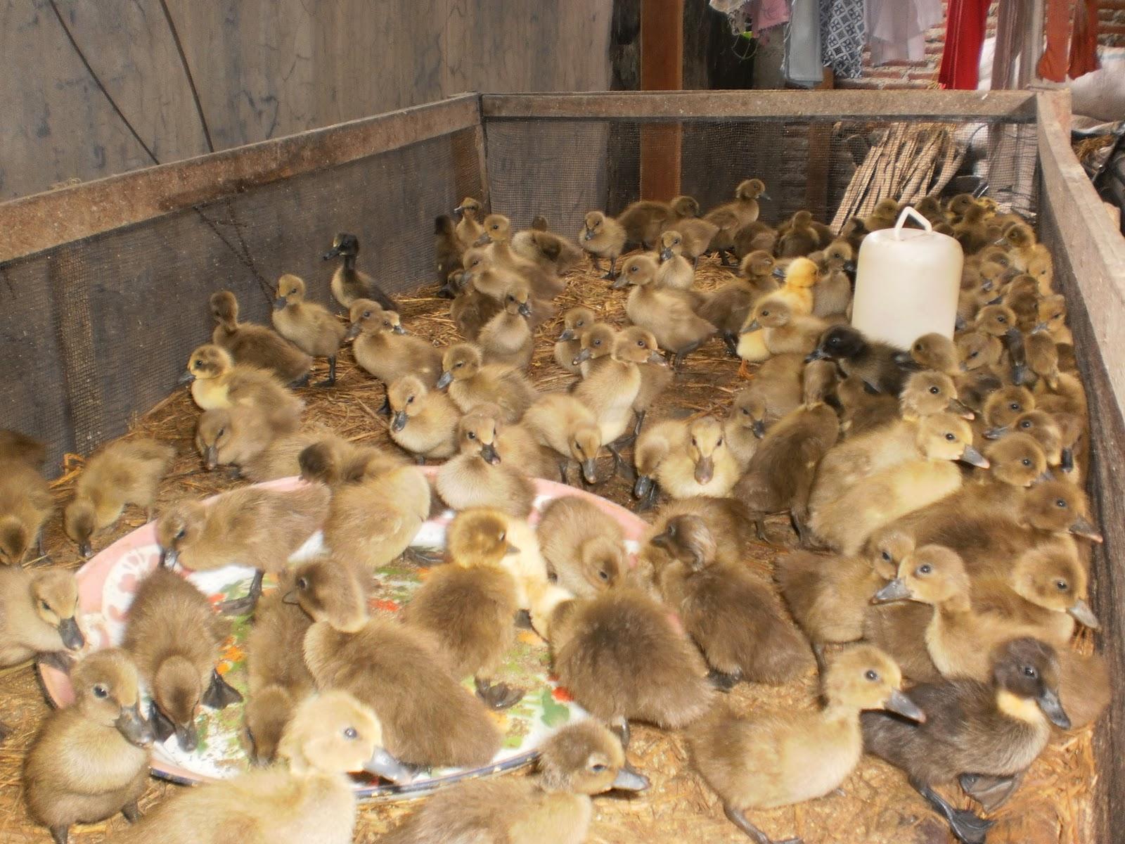 telur yang ideal adalah selama 1 tahun produksi telur rata rata bebek ...
