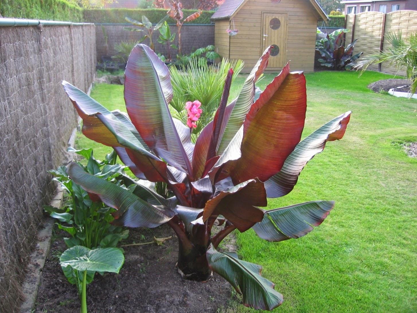 Peces y plantas ornamentales ensete ventricosum maurelii for Banano de jardin
