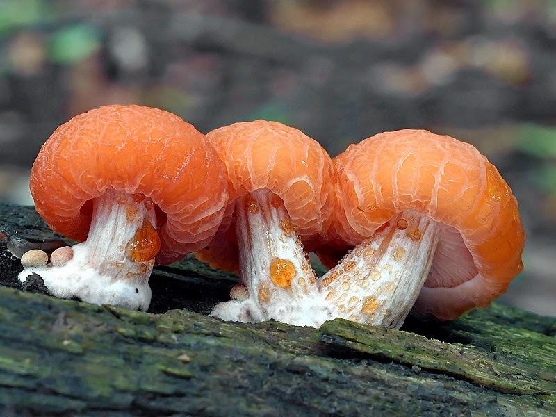 rhodotus_palmatus
