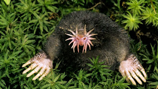 Star-Nosed Mole - Hewan Aneh