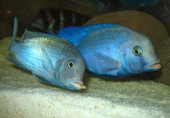 Akvaryum yunus balığı hakkında bilgiler