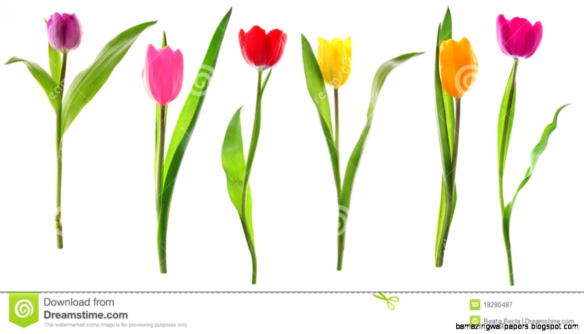 Row Of Spring Tulips Royalty Free Stock Images   Image 4008789