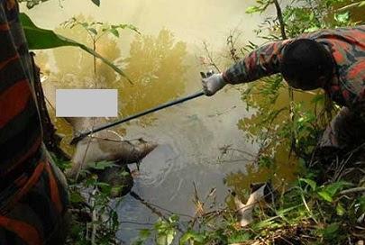 sedang berusaha untuk menarik mayat mangsa. Gambar - The Borneo Post