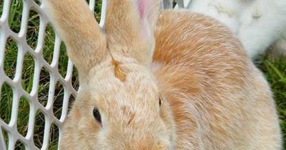 Rabbits Raising Culture Fur Breeding Meat 30 Books CD Cavy Fancier Skin Pet
