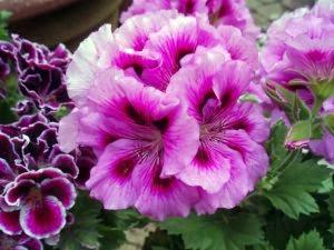 bunga geranium dunia belajar