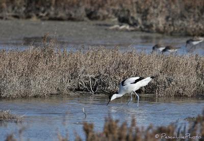 Avocette élégante  (Recurvirostra avosetta), Pied avocet