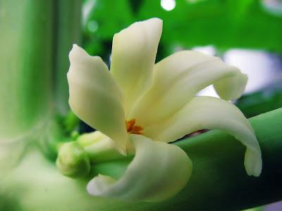 Papaya flower