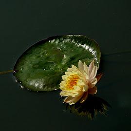 Hoa Súng vàng - Quy TD