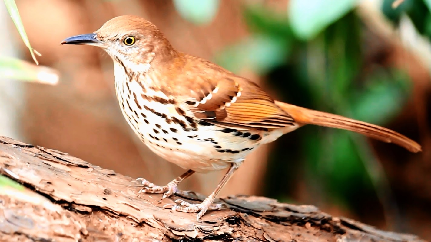 Brown Thrasher Up Close and Natural