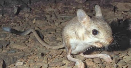 Facts about jerboas (r...
