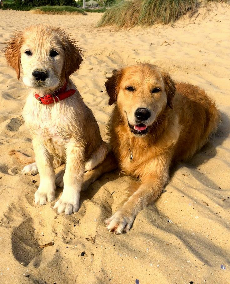 Cute Two Golden white Retriever Puppies in Beach