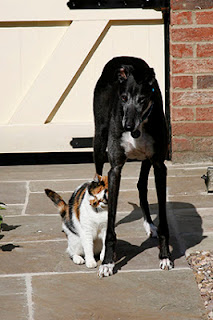 Jasper the greyhound with Tula the cat