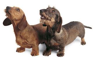 wire haired minature dachshund chocolate tan smooth coat dachshund