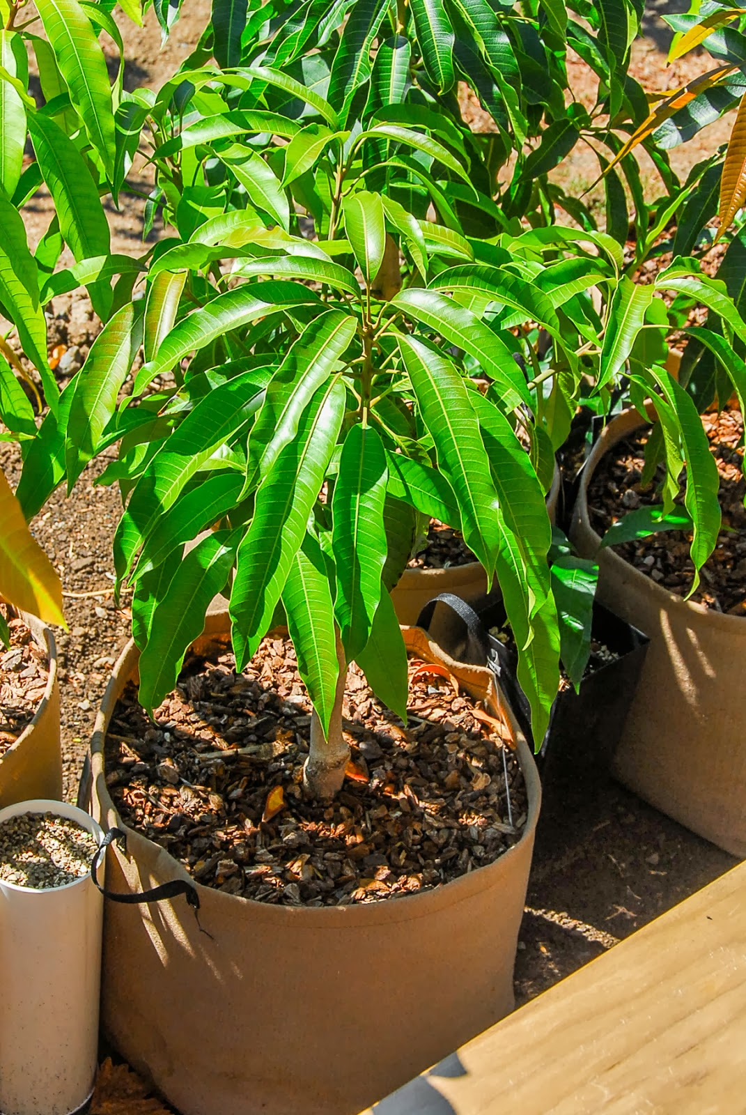 Mango69 Mango Trees Continue To Grow