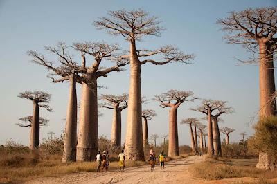 Avenida dos Baobás – Madagascar